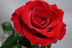 San Valentino: 2 pugliesi su 5 regalano fiori. Rose in cima alla classifica