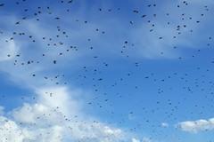 Ancora irrisolto il problema degli storni che imperversano nelle campagne pugliesi