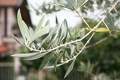 """""""Piantiamo il futuro"""": la Spi-Cgil mette a dimora ulivial """"Colasanto"""" e nella Masseria San Vittore"""