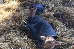 Maltempo: Coldiretti Puglia procura cappotti e cappottini a cavalli e baby vitelli