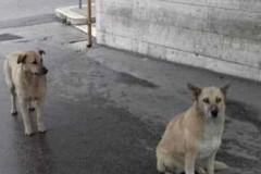 I due cani meticci attendono all'ingresso dell'ospedale, ma l'uomo ricoverato non è il loro padrone