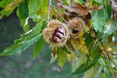 """Il Rotary di Andria dona 2 alberi di castagno alle scuole """"Graziella Mansi"""" e  """"Giovanni Falcone"""""""