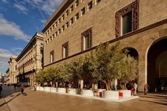Vengono dalla Puglia gli ulivi secolari portati in piazza, a Milano?
