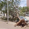 Tragedia sfiorata in viale Olanda: grosso albero si schianta su una autovettura in sosta