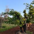 Xylella: la Regione concede l'autorizzazione all'impianto di ciliegi, agrumi ed albicocchi in zone infette