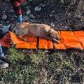 Cane investito salvato dalla Polizia Locale: un veterinario di Barletta se ne prende cura