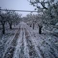 "CIA Puglia:  ""Gelate colpo di grazia per l'agricoltura pugliese """