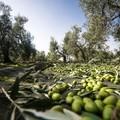 Molitura delle olive: divieto di immissione delle acque reflue nella rete fognante