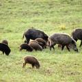 Cattura dei cinghiali nel Parco Nazionale dell'Alta Murgia: presentazione del Piano di Gestione
