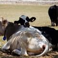 Stress da gran caldo per gli allevamenti bovini: - 15% di latte