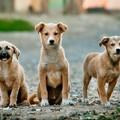 Cesena: sequestrati 23 cuccioli di cane. Erano su un'autovettura proveniente da Andria
