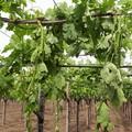 """Agricoltura pugliese spazzata dal vento, CIA:  """"Riformare subito il sistema dei risarcimenti """""""