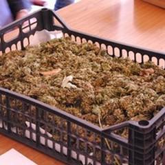 Sequestro di droga: 600 piante, 5 chili di marijuana ed una villa