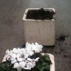 Perchè siamo vandali? Il Comune pianta fiori e vandali li estirpano!