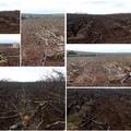 Tagliati circa 3mila giovani alberi di ciliegio