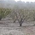 """Danni a ciliegie, mandorli, albicocchi e vigneti a causa del clima di questa  """"pazza primavera """""""