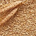 Coldiretti, guerra del grano: