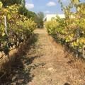 Vendemmia in Puglia, Coldiretti: +15% di vino rispetto al 2017