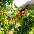 Gravi danni a frutta ed ortaggi per il maltempo persistente