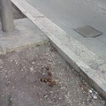 Le strade di Andria invase da deiezioni canine e nessuno controlla