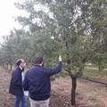 Gelate su mandorli e ciliegi: avviati i sopralluoghi per i danni in agricoltura