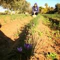 Coldiretti: crescono in Puglia le ore lavorate in agricoltura