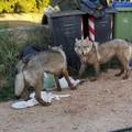 Incidenti stradali, razzie nei campi e animali sbranati: l'emergenza lupi dilaga