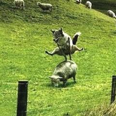 Ho affidato le pecore al lupo!