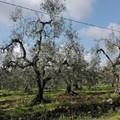 Consegnati i primi ulivi xylella-resistenti