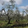 Gelate, Coldiretti chiede di riconoscere calamità e fondo di solidarietà anche alla Puglia