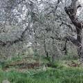 Xylella, l'allarme di Italia Olivicola: il 75% dei terreni non viene curato adeguatamente