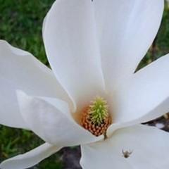 È morta la magnolia