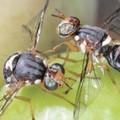 Monitoraggio della mosca dell'olivo, bollettino fitosanitario