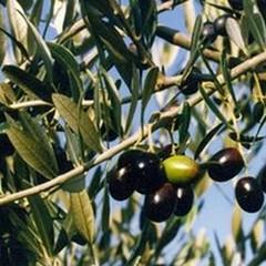 L'arrivo dell'olio tunisino e lo stereotipo dell'agromafia