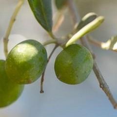 L'olio extravergine d'oliva