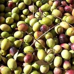 Molitura delle olive: vietato lo sversamento nella rete fognante