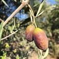"""Siccità record a ottobre, ad Andria olive avvizzite e campi a secco. Cia Puglia:  """"È già calamità """""""