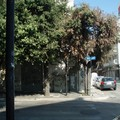 """Ambiente cittadino, Montepulciano:  """"I lecci comunali e i 4 lecci di Villa Bonomo """""""