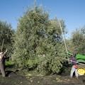 """Crisi olivicoltura, Fratelli d'Italia:  """"Colpa eccessiva e incontrollata importazione di olio dall'estero """""""