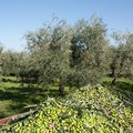 Crisi olio, Italia Olivicola: Sostegno ai produttori e trasparenza flussi olii provenienti dall'estero