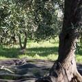 Olio d'oliva: prezzi troppo bassi, anche da Andria domani a Roma dal vice Ministro L'Abbate