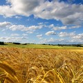 Crolla il prezzo del grano duro biologico in Puglia: alla borsa merci di Bari, prezzo ribassato di tre euro a tonnellata