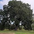 """Passeggiata Ecologica all'alba: alla scoperta della quercia secolare """"Maccarone"""""""