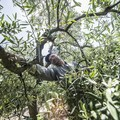 Timori per il rischio di dazi doganali USA per il nostro olio d'oliva EVO