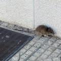 Un'invasione di roditori fa tremare la zona PIP di Andria