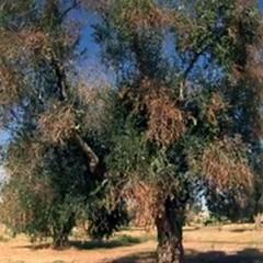 """La  """"Xylella Fastidiosa """" non è sugli ulivi delle campagne andriesi"""