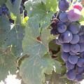 """Confagricoltura scrive al Prefetto Valiante: """"Nella Bat numerosi furti uva da tavola, potenziare i pattugliamenti"""""""