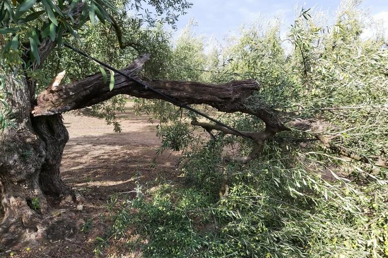 Albero di ulivo spezzato dalla forza del vento