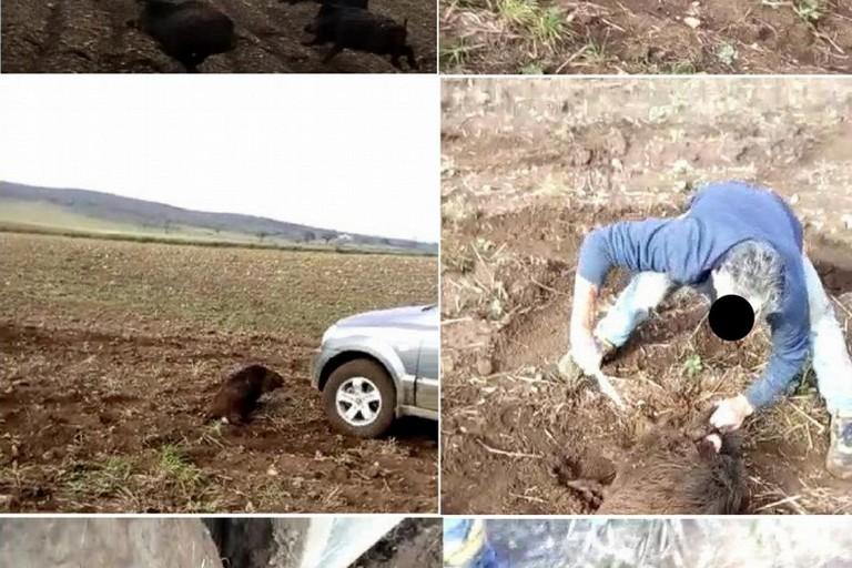 Cinghiale investito e sgozzato sulla Murgia, il video diventa virale