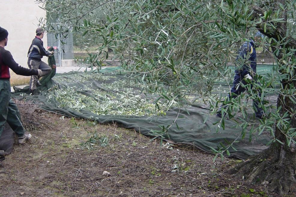 raccolta olive (Foto Vincenzo Cassano)